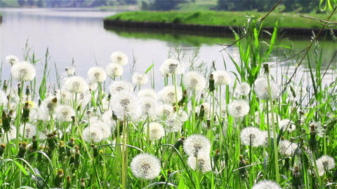Dandelions on the riverbank of Moscow park in sunn Footage