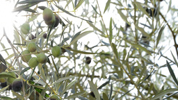 Olives hanging at branch in tree panoramic Footage