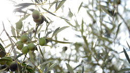 Olives hanging at tree at sunset Footage