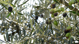 Olives hanging at branch of tree Footage