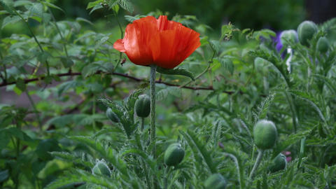 Poppy red and green buds in the summer in the gard Live Action