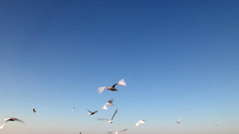 Seagulls flying over the blue sky Footage