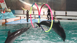 Show in the dolphinarium with a dolphins jumping t Footage