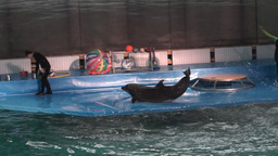 Show in the dolphinarium with two funny dolphins Footage