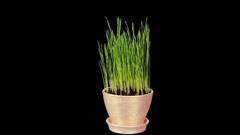 Grass growing in a pot ALPHA matte. Full HD, (Trit Footage