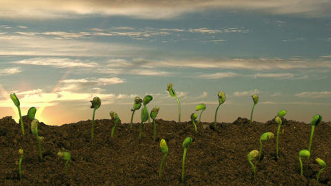 Time-lapse of growing soybeans at sunrise Stock Video Footage