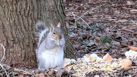 squirrel feeding Footage