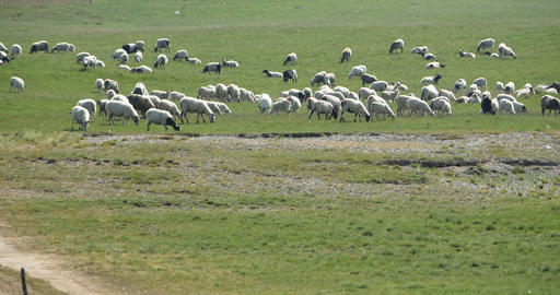 4k A Flock Of Sheep On The Prairie stock footage