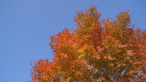 2160p (12bit RGB4:4:4) 紅葉 autumn Japan ライブ動画