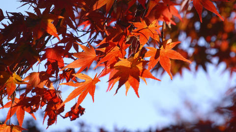 2160p (12bit RGB4:4:4) 紅葉 autumn Japan Footage