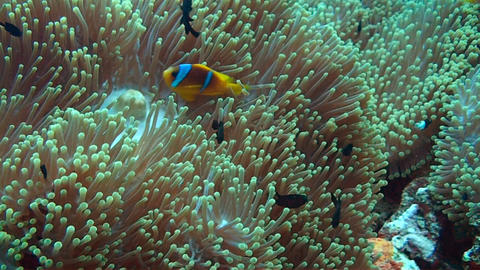 Anemonefish Stock Video Footage