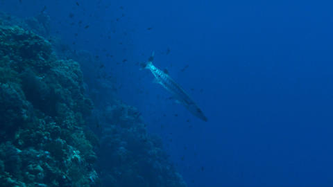 Barracuda Stock Video Footage
