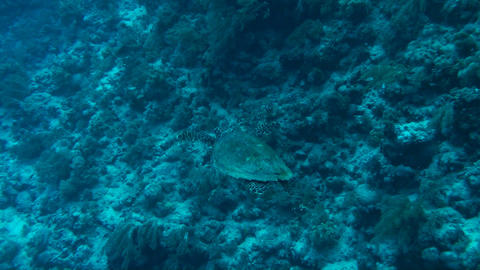 Sea turtle Footage