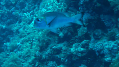 Bigeye emperor Stock Video Footage