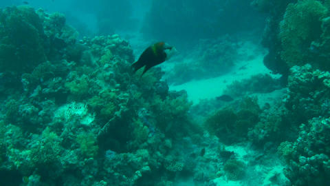 Giant triggerfish Stock Video Footage
