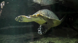 turtle aquarium Footage