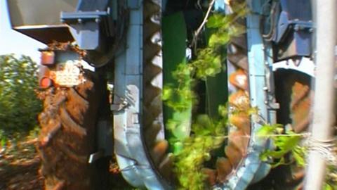Grape harvest Stock Video Footage