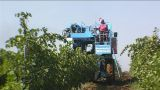Grape harvest Footage