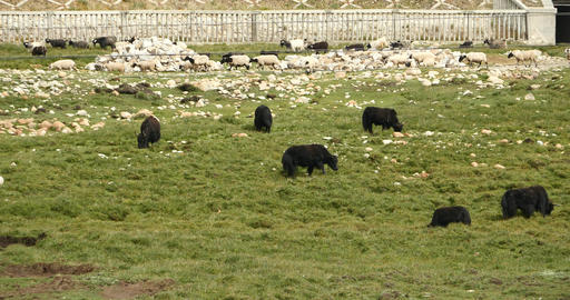 4k A Flock Of Yak On The Prairie,River Flowing Thr stock footage