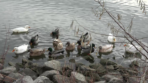 Group Of Ducks Found At The Rocky Shore stock footage