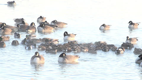 Ball of Ducks in Winter Footage