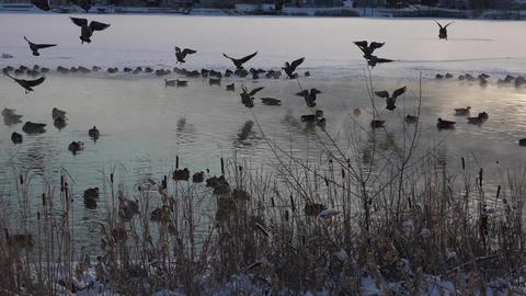 Geese Landing Shot Footage