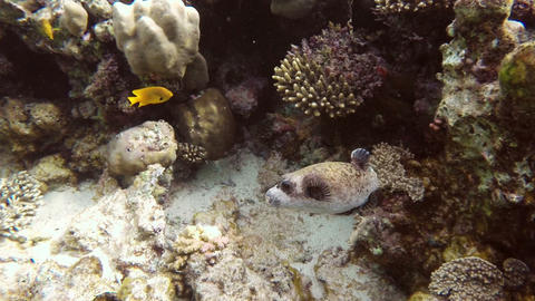 Black Spotted Puffer fish in Red Sea Footage