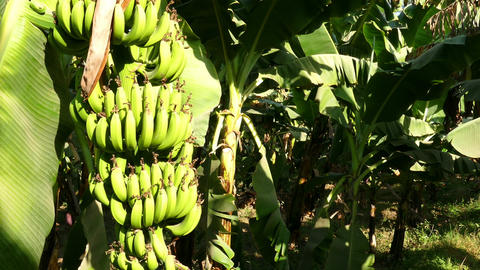 Banana tree plantation in egypt Footage