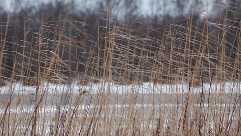 Dry reeds in winter Footage