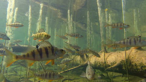 Lots of perch in shallow water Footage