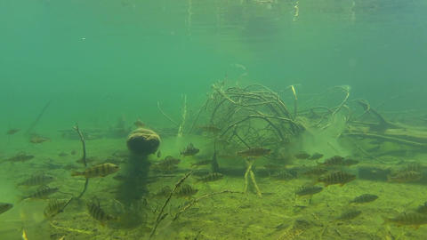 Moving shot of fish and submerged trees Footage