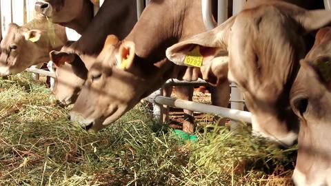 Cattle breeding Footage