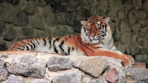 Amur tiger Live Action