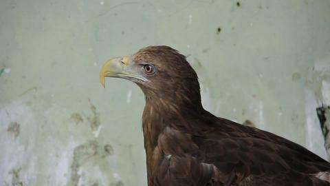 Golden eagle Live Action