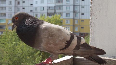 Grey pigeon Live Action