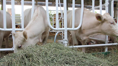 Livestock sector Footage