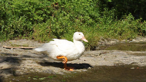 White duck by river Live Action
