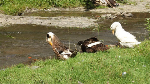 Three Gooses By River stock footage