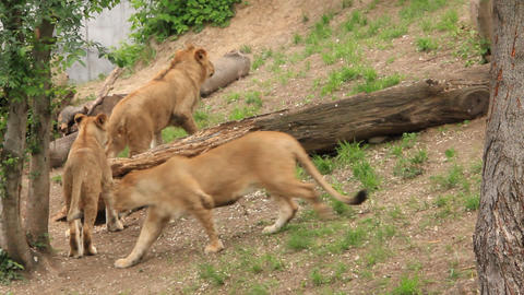 Aggressive lionesses Footage