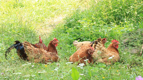 Chickens Live Action