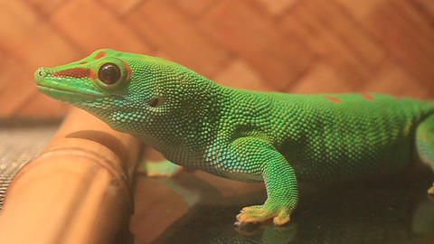 Green gecko Footage