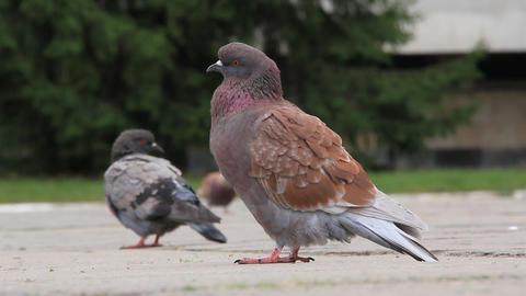 Pigeons Live Action
