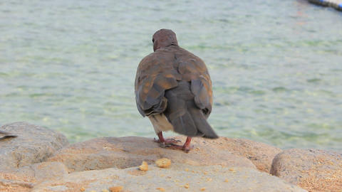 Egyptian Pigeons stock footage