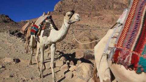 Caravan. Wilderness of Mount Sinai. Egypt Footage