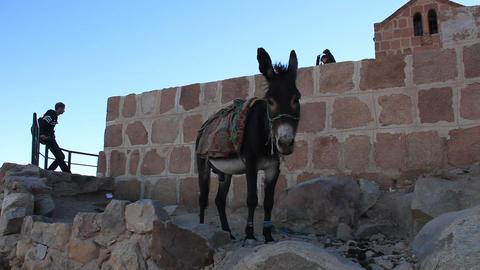 Donkey. Mount Sinai. Egypt Footage