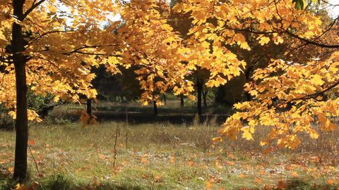 Beautiful autumnal trees and light breeze Footage