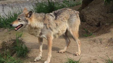 Wolf Footage