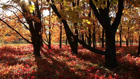 Beautiful autumnal trees and sunbeams Footage