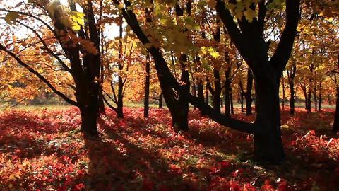 Beautiful autumnal trees and sunbeams Footage