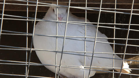 White pigeon in the cage Live Action